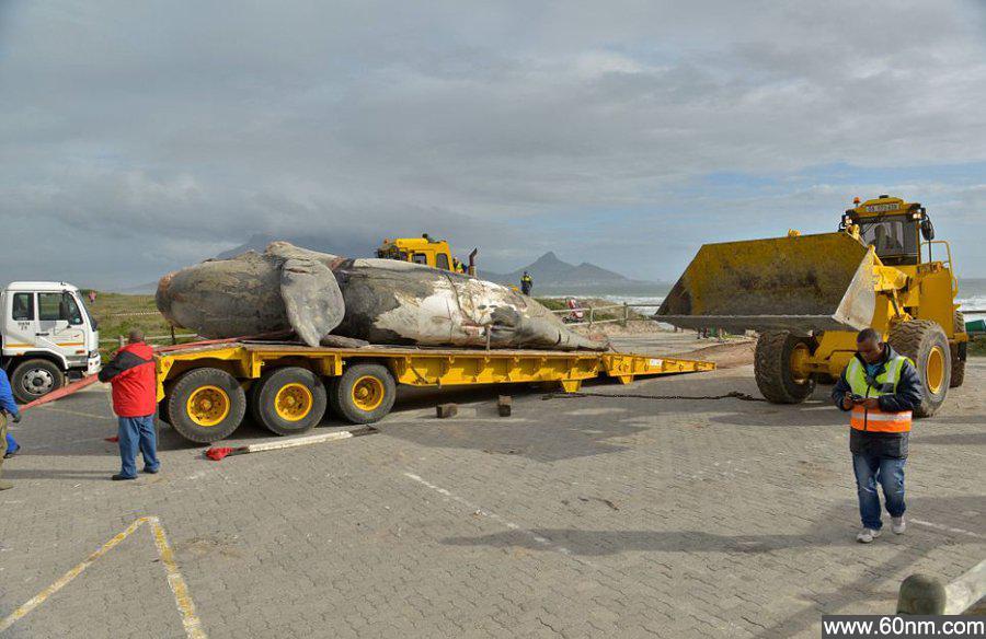 南非现10米长鲸鱼尸体_大千世界