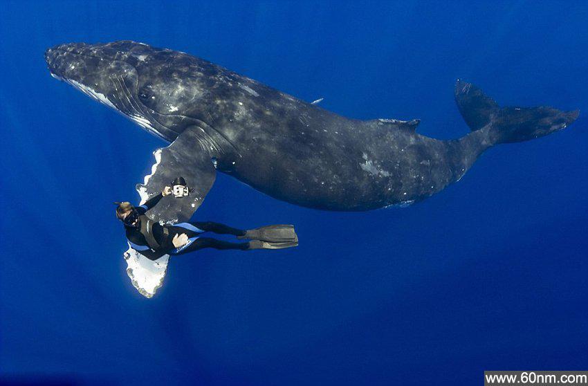 """夏威夷16米座头鲸与潜水员亲切""""握手""""_大千世界"""
