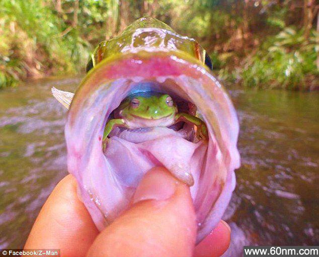 奇葩!青蛙住鱼嘴里_大千世界