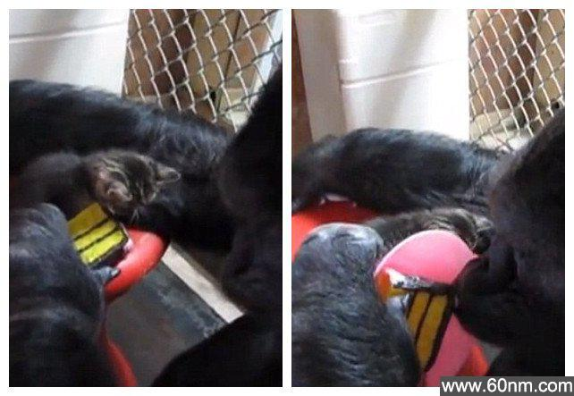 大猩猩悉心照料小猫爆红网络_大千世界