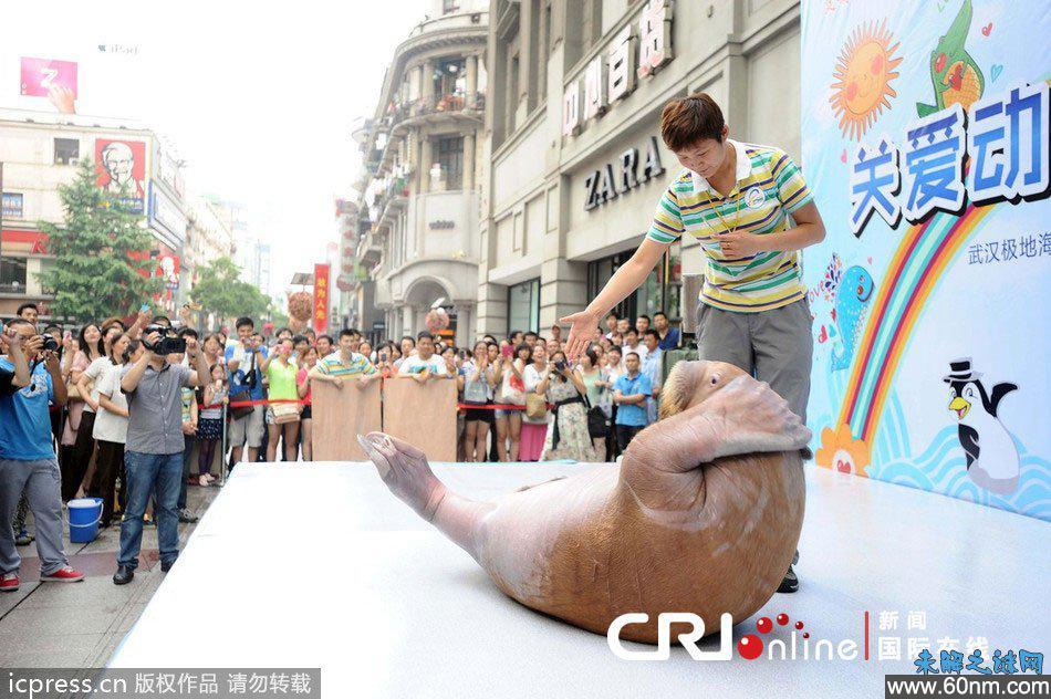 超级萌的北极海象 武汉市闹市街头走秀_大千世界