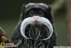 盘点动物界的胡子君:皇狨猴花白胡须_大千世界