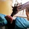 荷兰长颈鹿感人吻别患绝症清洁工_大千世界
