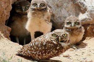 可爱穴鸮迷人风采_大千世界