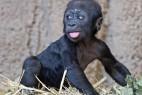 德动物园小猩猩淘气向妈妈求拥抱_大千世界