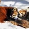 小熊猫雪中嬉闹打滚逗趣超可爱_大千世界