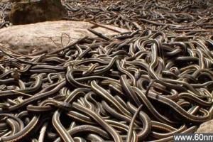 数万条蛇春季交配狂欢_大千世界