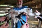 克罗地亚农场现雌雄同体八腿小羊_大千世界