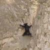 小熊为追赶妈妈勇攀峭壁_大千世界