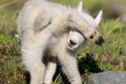 美害羞小羊羔怕上镜 后腿挡眼睛_大千世界