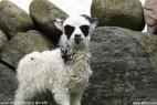 挪威小羊羔酷似蝙蝠侠_大千世界