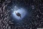 加摄影师拍海狮穿行鱼群隧道掠食_大千世界