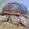 英夫妇错买罕见巨型龟重超百斤仍在长_大千世界