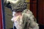 英国一鹦鹉被关3年患抑郁症 拔光自身羽毛_大千世界
