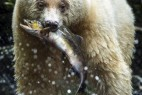 摄影师拍珍贵白熊捕鱼照_大千世界