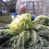 英男子种出27公斤世界最大花椰菜_大千世界