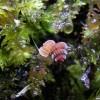 奇特濒危热带蜗牛:仅3毫米长_大千世界