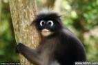 相貌奇特的瞪眼叶猴_大千世界
