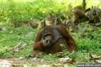 印尼猩猩捡拾游客烟头染上烟瘾_大千世界