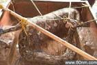 巨蟒吞食农妇被村民打死 剖开见人形_大千世界