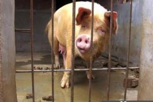 网评感动中国10大动物 母猪救夫夺冠_大千世界