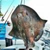 美船长捕获700斤古老海怪 似恐龙巨鳐_大千世界