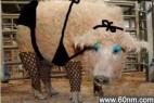 草泥猪濒临灭绝 神兽绵羊猪网络爆红_大千世界