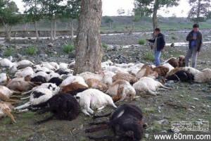 新疆牧民家遭雷击 173只羊当场死亡_大千世界