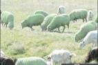 罗马尼亚250只绵羊 一夜之间毛变绿_大千世界
