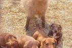 奇特动物母子:水豚妈妈收养一窝小狗_大千世界