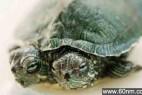 神奇的小龟拥有两个头 还可同时进食_大千世界