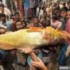 罕见金色鲷鱼售4万美元 民众好奇围观_大千世界
