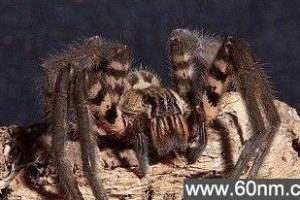 巴西蜘蛛咬人之后可使男性勃起四小时_大千世界