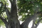 北京怀柔河底挖出700年巨树_大千世界