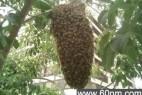 杀人蜂是怎么杀人的呢?_大千世界