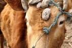 山东一黄牛头上长出了七只角_大千世界