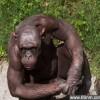 印度黑猩猩患脱毛症后成明星_大千世界